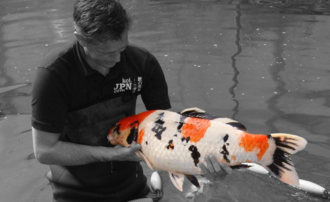 Exclusively Japanese Koi